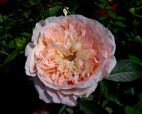 a climbing rose from the rose breeder delbard who creates terrific garden roses please see page on delbard roses under resources