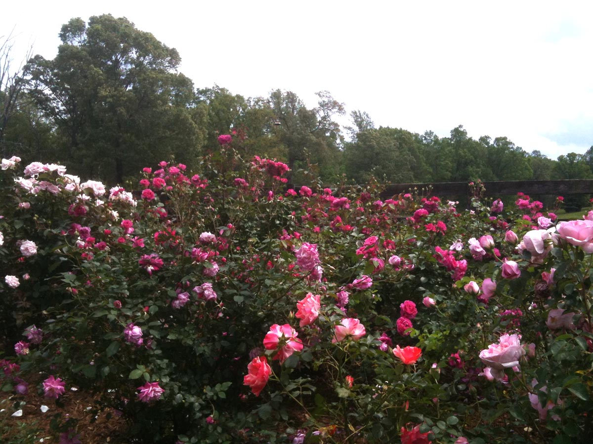 Spacing when planting roses paul zimmerman roses - When to plant roses ...