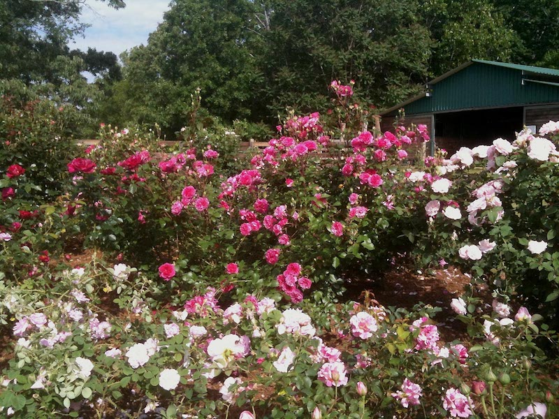 Another View Of Our Garden. I Start By Choosing Roses That Are Disease  Resistant For My Area.