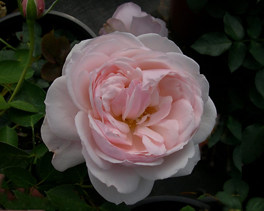 Fine Gardening Rose Blog Post for March 23, 2017