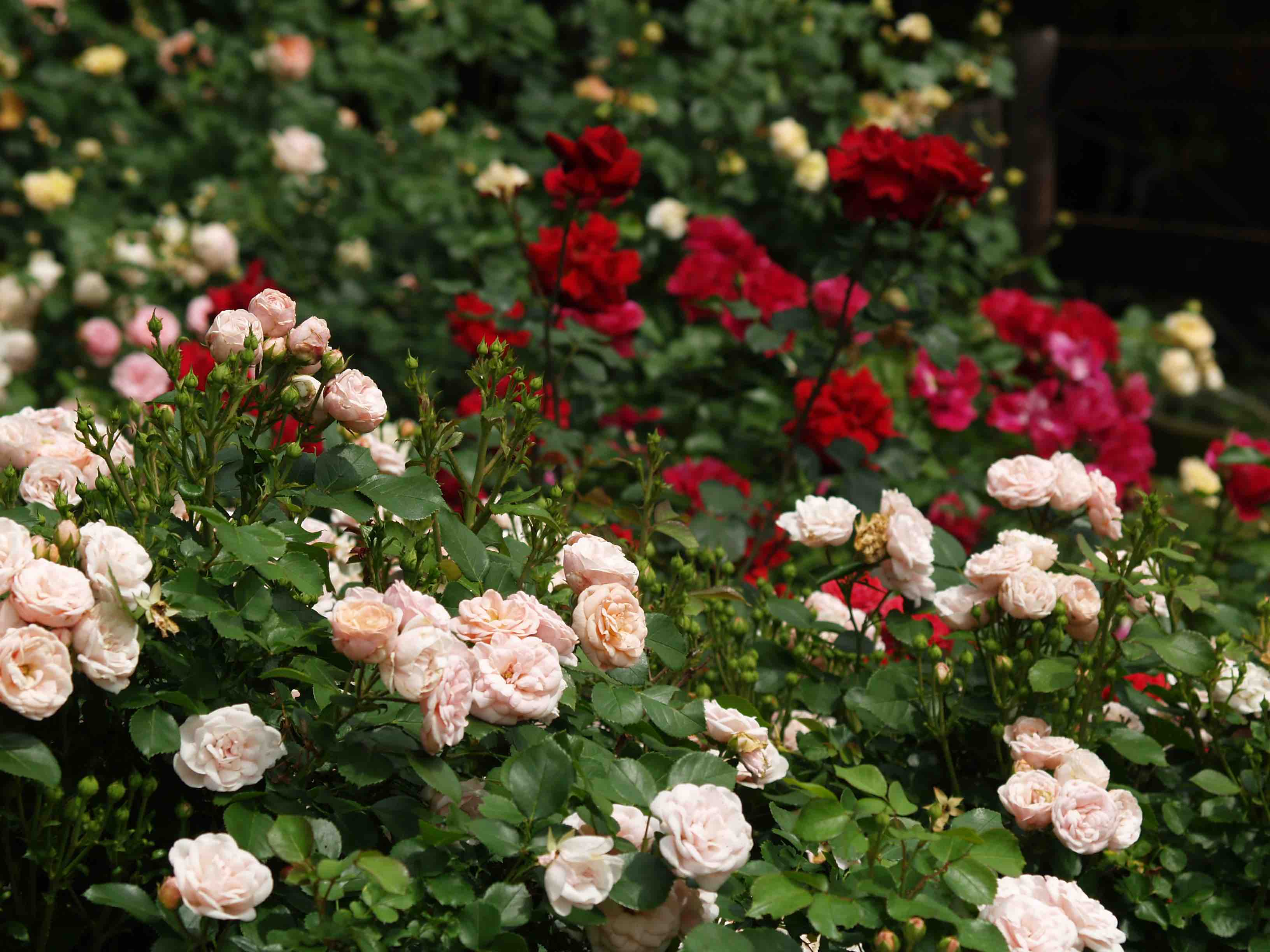 pauls care a rose for Plant database entry for rose (rosa 'paul's scarlet climber') with 4 images and 36 data details.