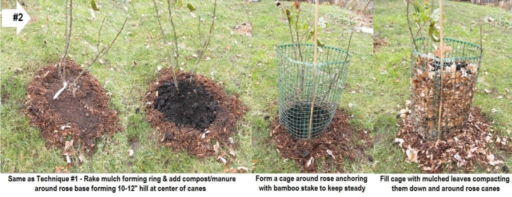 Overwintering Roses Like Shrubs - Technique 2