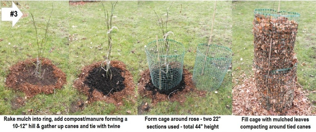 Overwintering Roses Like Shrubs - Technique 3
