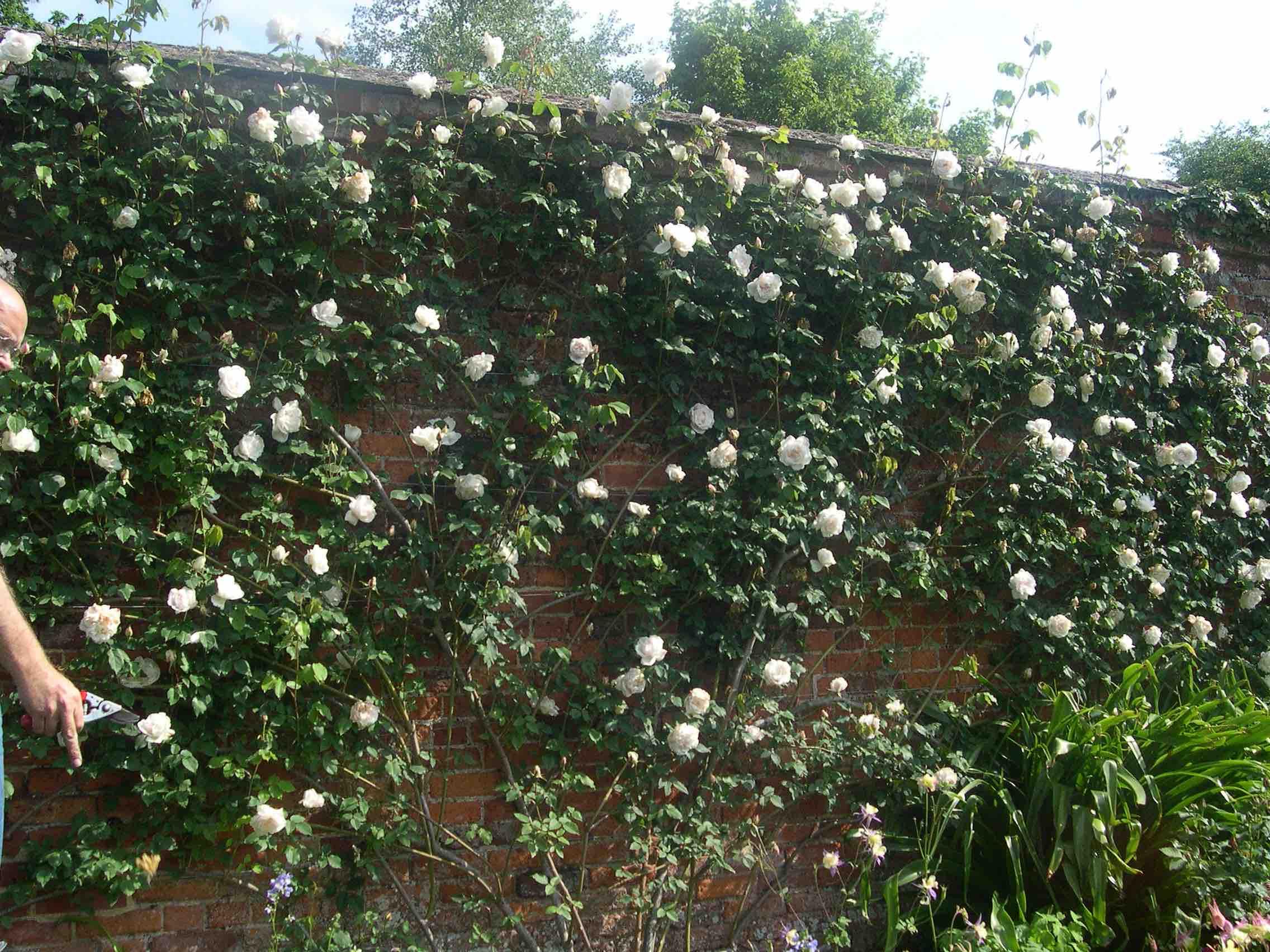 Плетистая роза антик 3