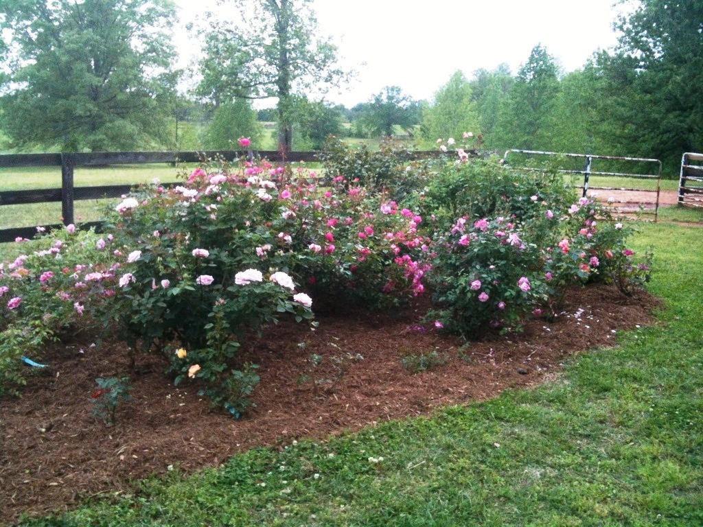 Roses In Garden: Photo2