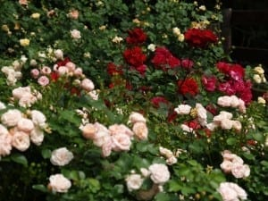 Regular grooming keeps your roses in check and looking their best