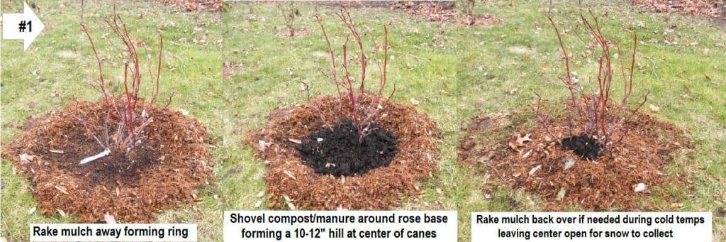 Overwintering Roses Like Shrubs - Technique 1
