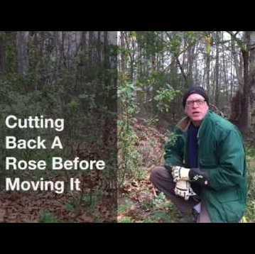 Rose Care Quickie – Cutting Back A Rose Before Moving It